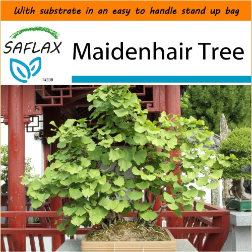 SAFLAX Garden in the Bag - Bonsai - Maidenhair Tree - Ginkgo - 4 seeds