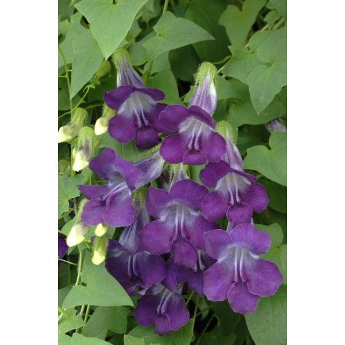Flower - Asarina Scandens - Mystic Series Violet White - 20 Seeds