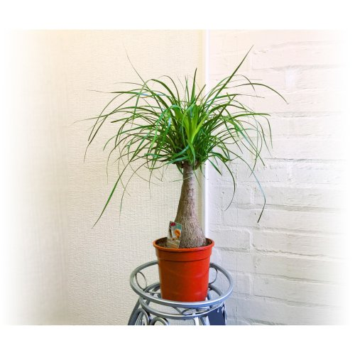 1 Ponytail Palm, Elephant's Foot- Large Floor Plant Evergreen Indoor Tree for Office House Garden