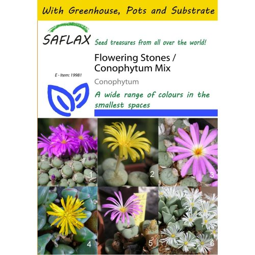 Saflax Potting Set - Flowering Stones / Conophytum Mix - Conophytum Mix - 40 Seeds - with Mini Greenhouse, Potting Substrate and 2 Pots