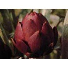 Vegetable - Artichoke - Romanesco - 25 Seeds