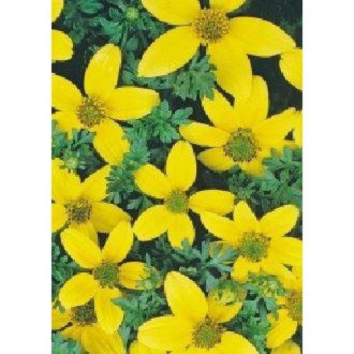 Flower - Bidens - Golden Eye - 25 Seeds