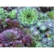 Flower - Sempervivum Mixed - 100 Seeds