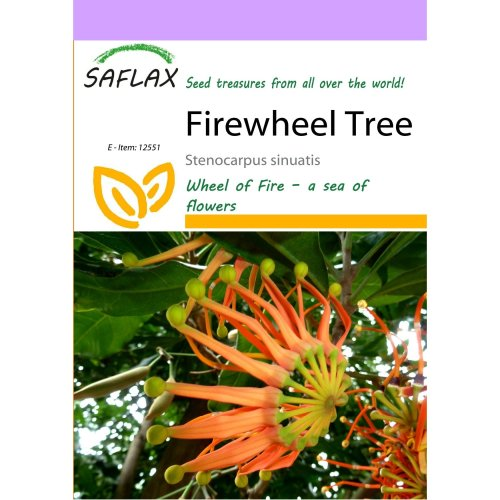 Saflax  - Firewheel Tree - Stenocarpus Sinuatis - 20 Seeds