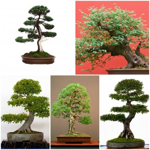 RP Seeds Bonsai Tree Seed Collection 1