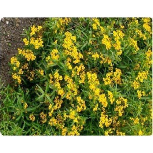Herb - Mexican Tarragon Mint - 4000 Seeds