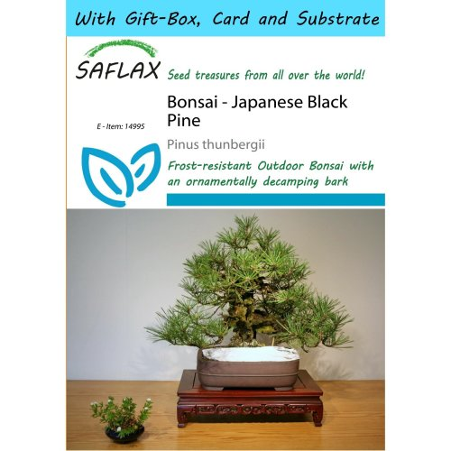 Saflax Gift Set - Bonsai - Japanese Black Pine - Pinus Thunbergii - 30 Seeds - with Gift Box, Card, Label and Potting Substrate