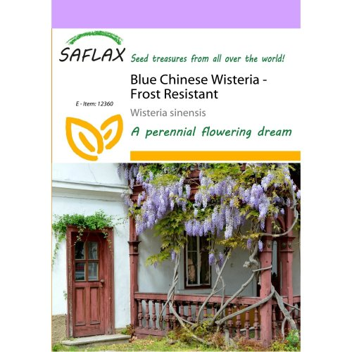 Saflax  - Blue Chinese Wisteria - Wisteria Sinensis - 4 Seeds