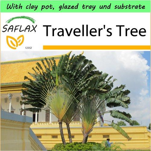 SAFLAX Garden to Go - Traveller's Tree - Ravenala - 8 seeds